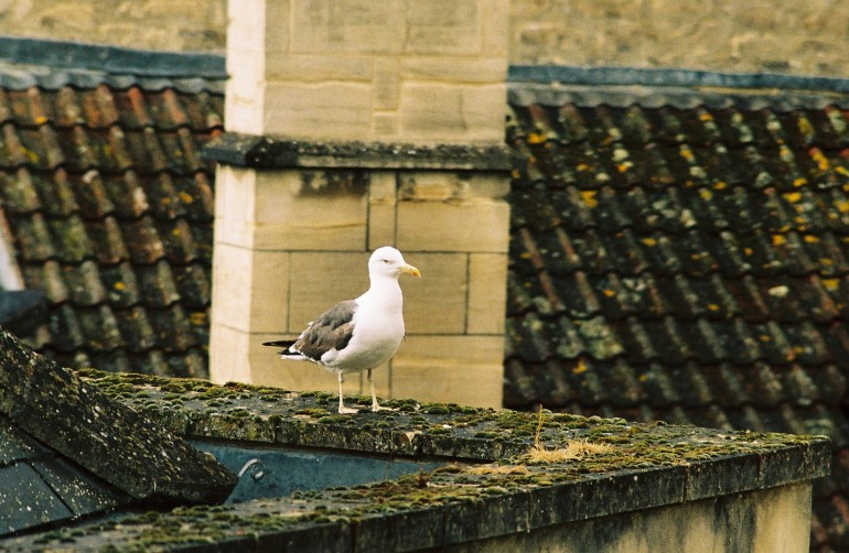 seagull standing on rooftop