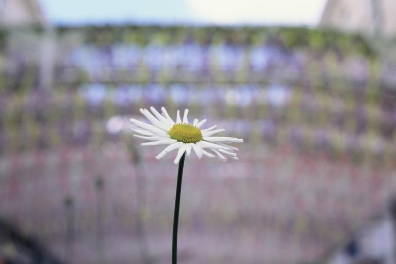 kodak ektachrome daisy